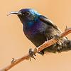 Palestine Sunbird, photographed by guide Doug Gochfeld.