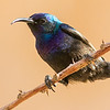 Palestine Sunbird, photographed by guide Doug Gochfeld.