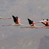 Greater Flamingos, photographed by guide Doug Gochfeld.