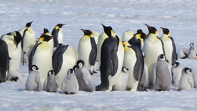 Spectacular Emperor Penguins with their chicks, photographed by Joyce Takamine.