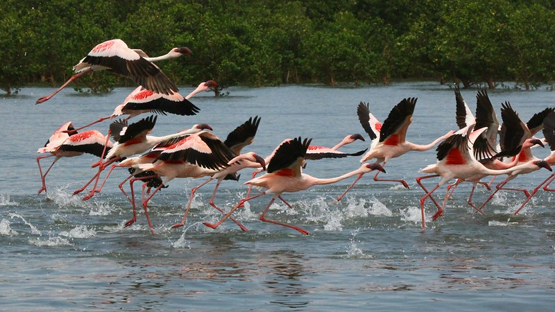 Lesser Flamingo liftoff, photographed by guide Rose Ann Rowlett