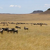Wildebeest on the Masai Mara, photographed by guide Dave Stejskal