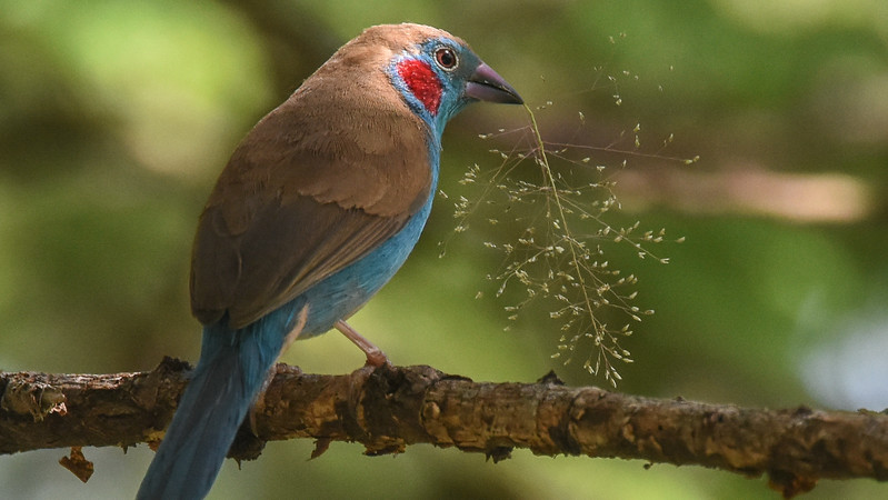 The beautiful Red-cheeked Cordon-bleu, photographed by participant Becky Hansen