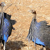Vulturine Guineafowl at Samburu, photographed by participant Randy Siebert