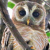 African Wood-Owl, photographed by participant Cliff Hensel