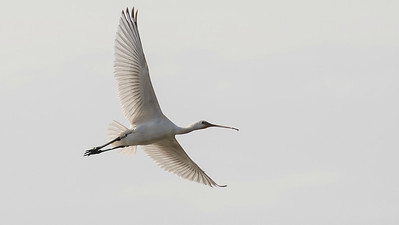 Eurasian Spoonbill in the Camargue, by guide Tom Johnson
