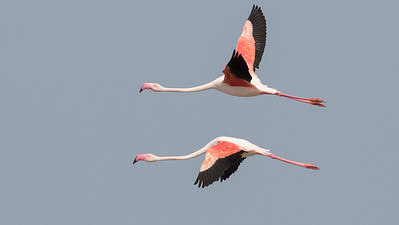 Greater Flamingos in the Camargue, by guide Tom Johnson
