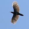 A Black Woodpecker in full fan, by participant Bill Byers