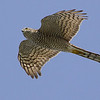 Eurasian Sparrowhawk, by guide Cory Gregory