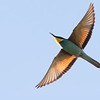 A splash of color overhead: European Bee-eater by guide Tom Johnson