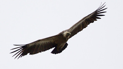 A huge Eurasian Griffon soars above the Pyrenees, by guide Cory Gregory