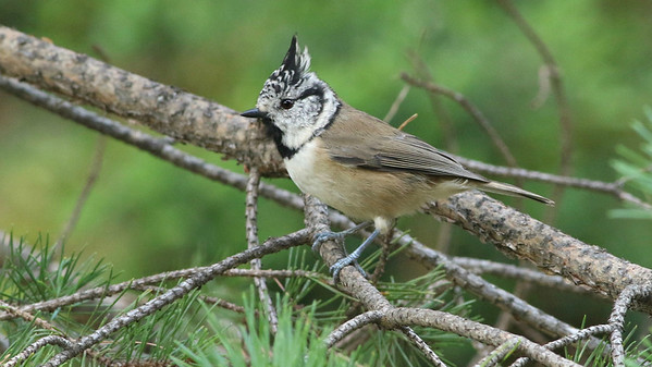 Crested Tit, by guide Ned Brinkley