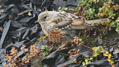 Alpine Accentor on scree in the Pyrenees, by participant Charlotte Byers