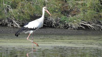 White Stork at Marais de Grenouillet, by participant Linda Nuttall