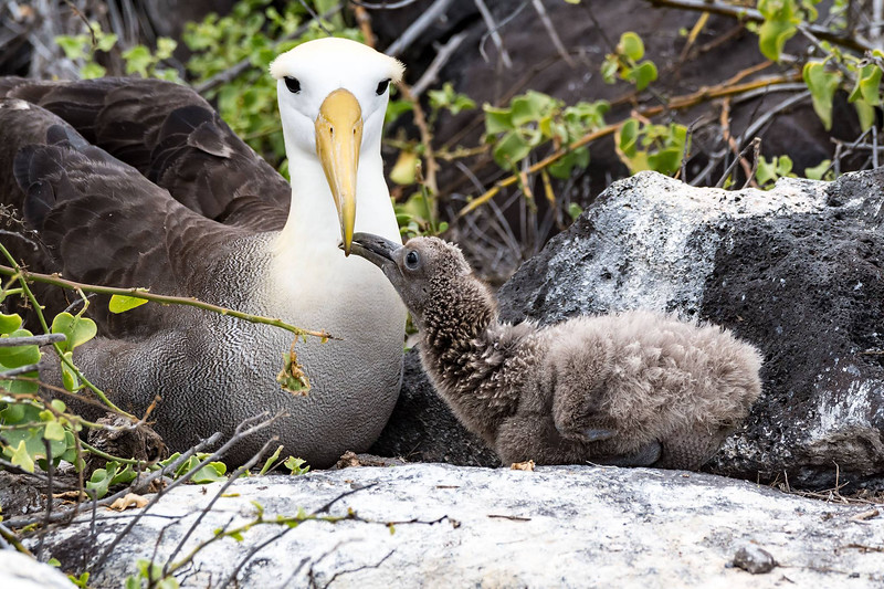 Waved Albatross with chick by participant Byron Chin