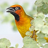 Black-necked Weaver, by participant Greg Griffith.