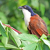 Blue-headed Coucal, by participant Greg Griffith.