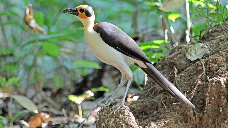 Star of the tour: White-necked Rockfowl, by participant Greg Griffith.