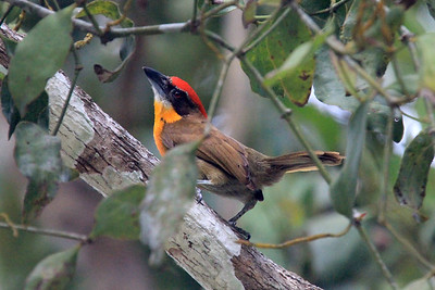 Scarlet-crowned Barbet is one of many riparian species we'll seek on this tour. Photo by guide Richard Webster.