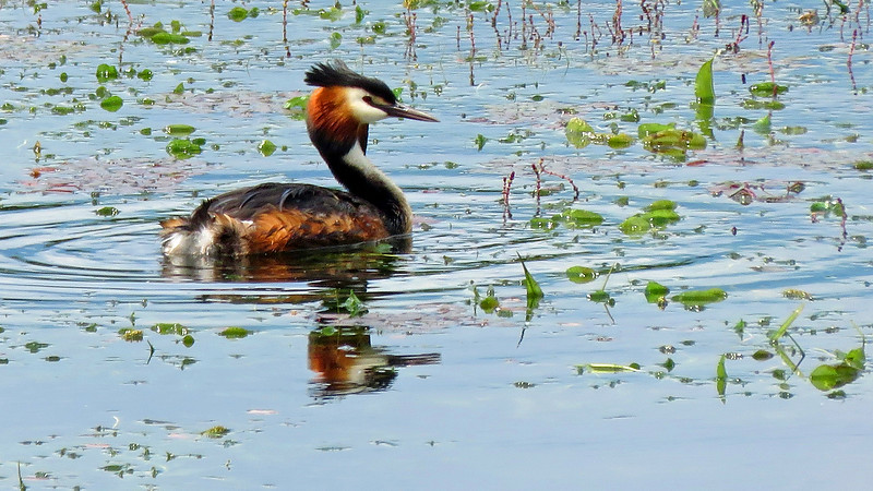 Great Crested Grebe, by participant Merrill Lester