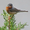 A handsome Subalpine Warbler, by participant Merrill Lester