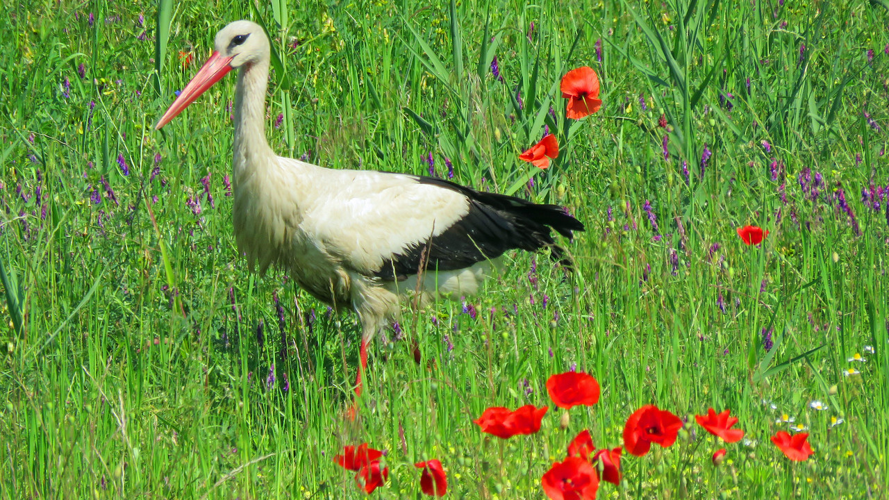 White Stork amid poppies, by participant Merrill Lester