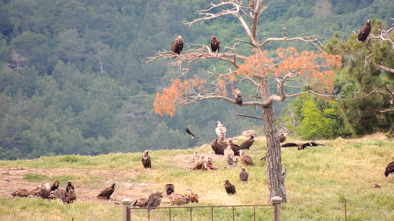 A vulture gathering, by guide Megan Edwards Crewe