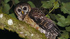 A nightbirding outing yielded this fine Fulvous Owl! Photo by participants David & Judy Smith.