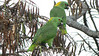 Yellow-naped Parrots were the largest of their kin we saw on our tour. Photo by participants David & Judy Smith.