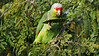 Red-lored Parrot: that seed pod is toast! Photo by participants David & Judy Smith.