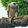 A young Harpy Eagle with prey, by participant Benedict de Laender