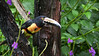 Collared Aracari, one of several brightly patterned toucans we'll see. Photo by participant Sandy Paci.