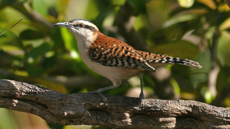 Rufous-naped Wrens are lovely songsters and often found with bullhorn acacias. Photo by participant Sandy Paci.