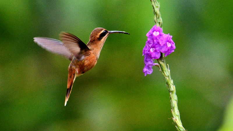 A Streak-throated Hermit visits a vervain flower. Photo by participant Bob Sprague.
