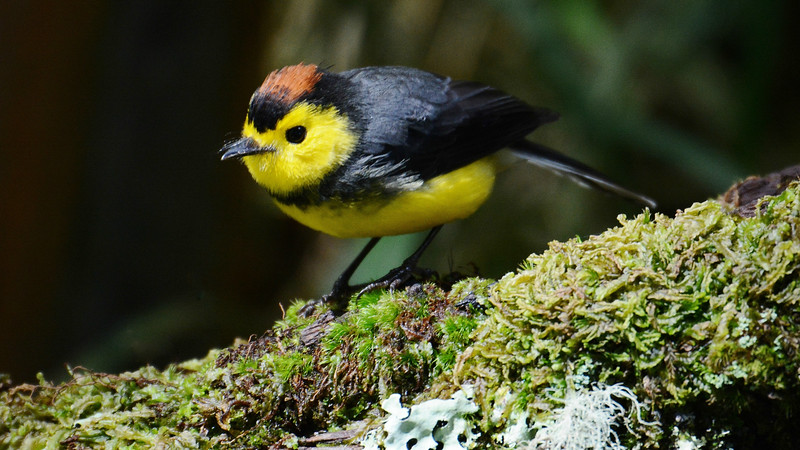These images from our 2015 tours begin with the bright and bold Collared Redstart, photographed by participant Bob Sprague.