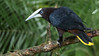 Chestnut-headed Oropendola showing its big frontal shield. Photo by participant Sandy Paci.