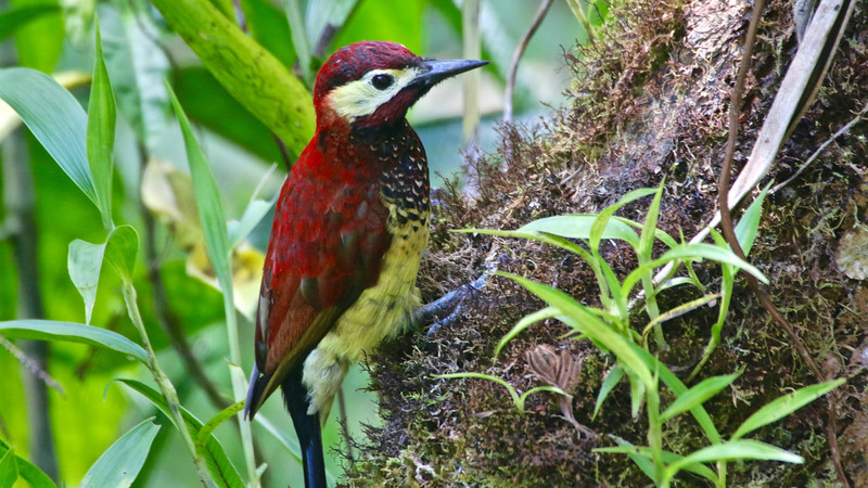 Crimson-mantled Woodpecker, photographed by participant Jean Halford.