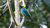 Saffron-crowned Tanager is among a brilliant assortment of tanagers we'll see. Photo by participant Jean Halford.