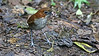 White-bellied Antpitta (Photo by participant Jean Halford)