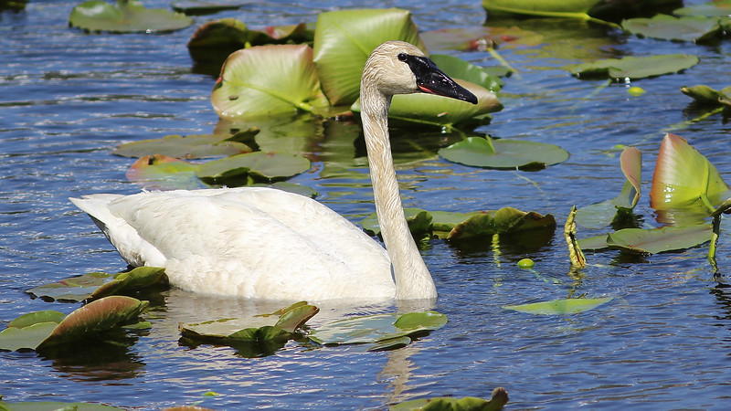 The large wetland complexes in eastern Idaho host numerous nesting waterfowl like this Trumpeter Swan. Photo by guide Eric Hynes.