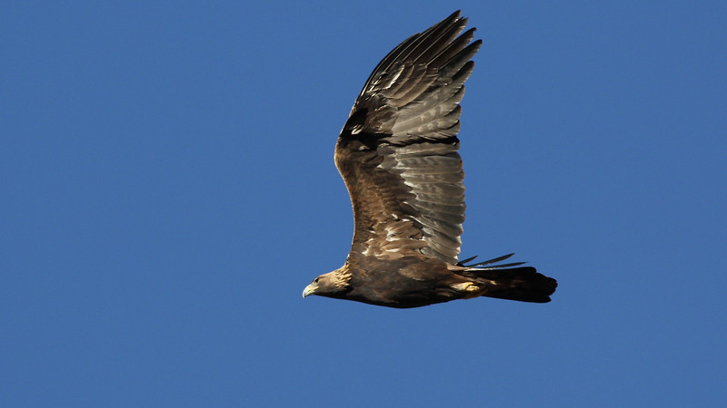 Majestic Golden Eagles can be found nesting across most of Idaho. Photo by guide Eric Hynes.