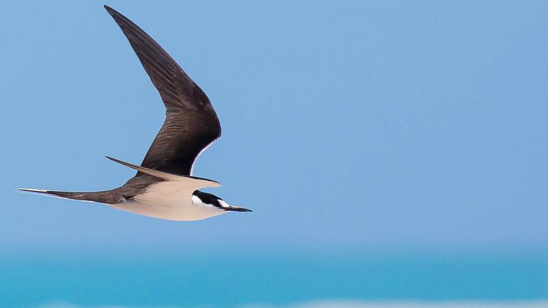 An elegant Sooty Tern in the Dry Tortugas, by guide Doug Gochfeld.