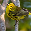 A fine selection of warblers, including Prairie, is possible. Photo by guide Doug Gochfeld.