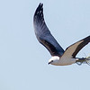 A Swallow-tailed Kite with nesting material, by guide Doug Gochfeld.