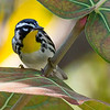 A lovely Yellow-throated Warbler in seagrape, by guide Doug Gochfeld.