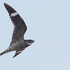 Antillean Nighthawk, by guide Doug Gochfeld. The voice is much more distinctive!