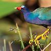 Fabulous views of Purple Gallinule should be a feature! Photo by guide Doug Gochfeld.