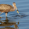 Limpkin is a Florida specialty in the US. Photo by guide Doug Gochfeld.