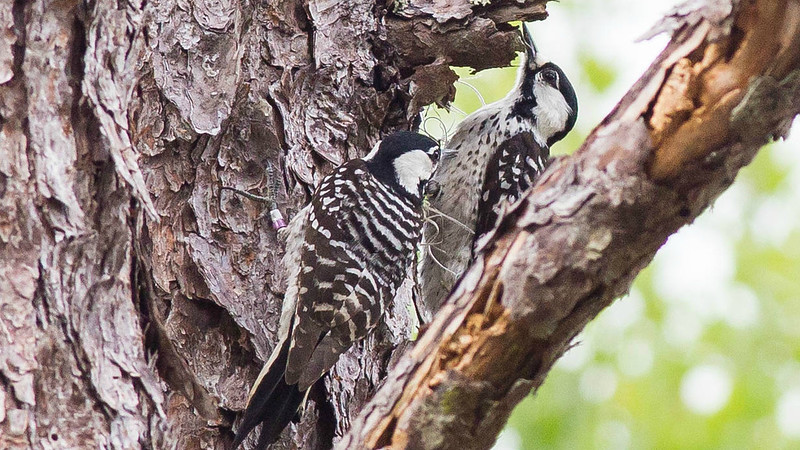 A pair of Red-cockaded Woodpeckers at work, by guide Doug Gochfeld.
