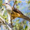 We hope to see the secretive Mangrove Cuckoo well! Photo by guide Doug Gochfeld.